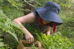 Голубики ягоды леса, собирая подарки леса стоковые изображения rf