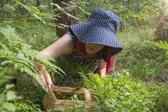 Голубики ягоды леса, собирая подарки леса стоковое фото rf
