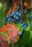 Голубики Стоковое Фото