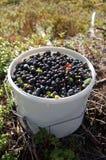 голубики bucket белизна Стоковая Фотография RF