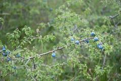 Голубики Fres растя в одичалом Стоковая Фотография RF