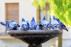 Голуби выпивая и купая в Сеговии Испании Стоковые Фото