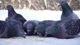 Голуби есть зерно в снеге средства Конец-вверх голубей приходя съесть разбросанные зерна пшена в снеге в парке акции видеоматериалы