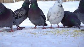 Голуби есть зерно в снеге E Конец-вверх голубей приходя съесть разбросанные зерна пшена в снеге в парке акции видеоматериалы