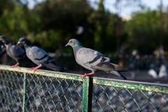Голуби и голуби стоковая фотография rf