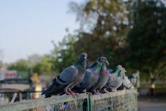 Голуби и голуби стоковые изображения rf