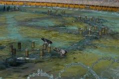 Голуби купая в фонтане Стоковая Фотография