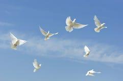 голуби летая белизна стоковые фотографии rf