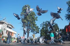Голуби летая высоко в мол Darjeeling Стоковые Изображения