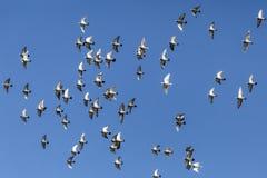 Голуби летая на красивый солнечный день с предпосылкой голубого неба стоковое фото rf