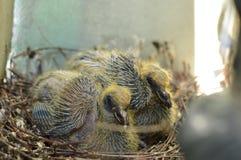 Голуби младенца Стоковое Фото
