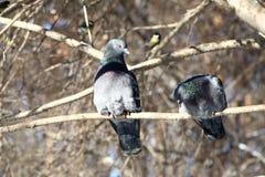 Голуби на ветви Стоковая Фотография RF
