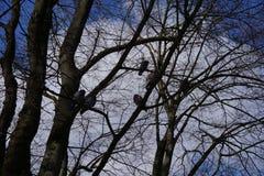 Голуби на дереве в небе зимы голубом Стоковое фото RF