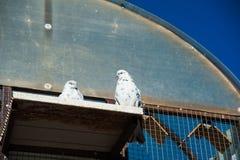 Голуби на их dovecote стоковое изображение