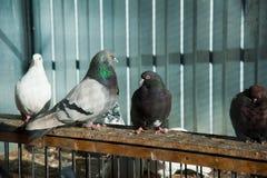 Голуби на их dovecote стоковое изображение rf