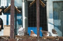 Голуби на их dovecote стоковое фото