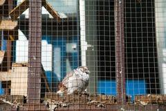 Голуби на их dovecote стоковые фотографии rf