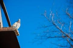 Голуби на их dovecote стоковая фотография rf