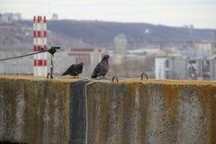 Голуби на крыше советского многоэтажного здания стоковые фотографии rf