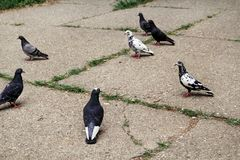 Голуби на мостоваой в стаде квадрата центра города/a птиц, голуби на улице города, на бетоне ромбовидного узора Стоковое Изображение