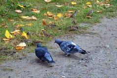 Голуби на пути, на фоне листьев осени стоковые фото