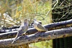 голуби оплакивая 2 Стоковое Фото