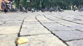 Голуби питания в квадрате в течение дня сток-видео