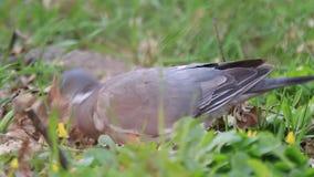 Голуби питаются на glade леса весны видеоматериал
