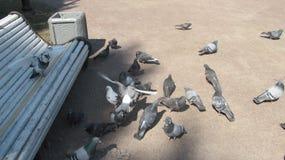 Голуби питаясь в парке города стоковая фотография rf