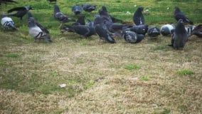 Голуби питаясь в парке Они летают вокруг и идут на бетон сток-видео