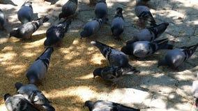Голуби подали внутри парк, сотни голубей в парке города, акции видеоматериалы