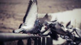 Голуби принимая и летая далеко от на перил в русле реки реки Рейна в Бонне стоковое фото rf