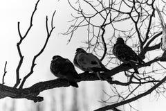Голуби сидя на ветви в заходе солнца Стоковая Фотография