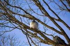 Голуби сидя на ветви в заходе солнца Стоковое Фото