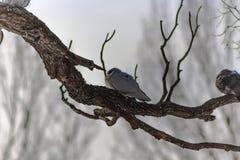 Голуби сидя на ветви в заходе солнца Стоковые Изображения