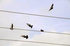 голуби Стоковые Фотографии RF
