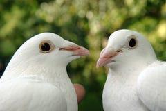 голуби 2 Стоковые Изображения
