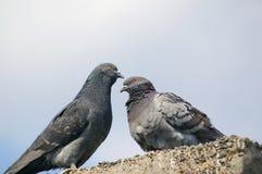 голуби Стоковое Изображение RF
