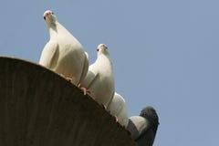 голуби Стоковое фото RF