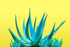Голубое алоэ Дизайн моды художественной галереи минимально Стоковые Фото