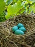 голубое гнездй яичек стоковое фото rf
