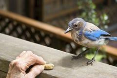 Голубое Джэй предусматривая рывок арахиса стоковые фото