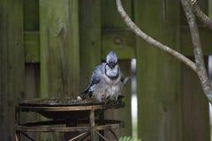 Голубое Джэй при влажные пер садить на насест на краю Birdbath Стоковые Фото