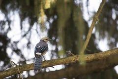 Голубое Джэй садить на насест на ветви Стоковое Фото