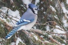 Голубое Джэй садить на насест в сосне Стоковое Фото