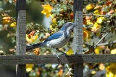Голубое Джэй садить на насест на загородке, смотря в расстояние Стоковые Фотографии RF