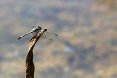 Голубое изображение dragonfly от заднего с распространенным крупным планом крылов Стоковое Фото