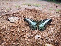 Голубое и белое пребывание бабочки крыла на земле стоковое изображение rf