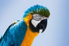 Голубое и желтое ararauna Ara попугая ары в Лансароте, Канарских островах, Испании Стоковая Фотография RF