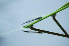 голубое насекомое damselfly Стоковое Фото